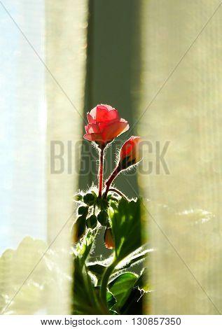 Geranium flower houseplant spring cultivation flora floristics botany nature