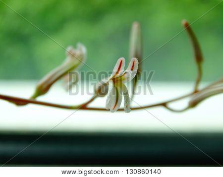 haworthia attenuata sprout spring flower nature macro closeup soil flora botany floristics swirl