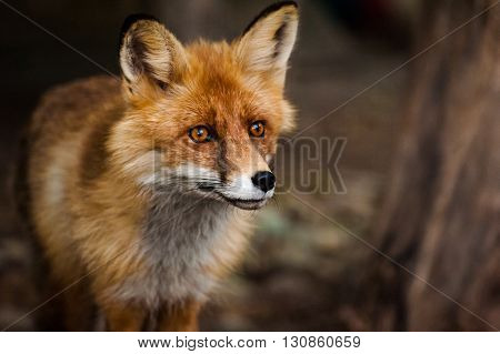 curious young red fox portrait close up