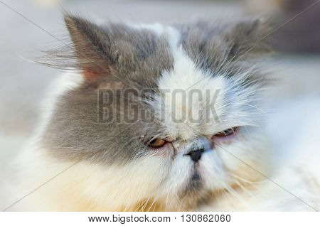 Selective soft focus of close up grumpy cat head shot