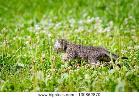 Cute little kitten on the grass lawn. kitten walking on the grass in park