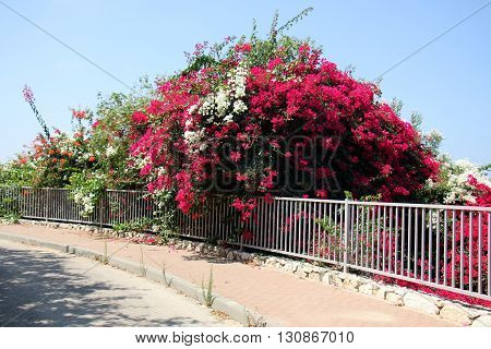 for the high iron and concrete fence growing large shrub flowers