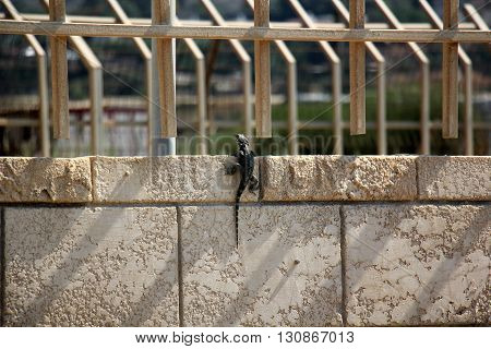 on the high, iron and concrete fence lizard sits