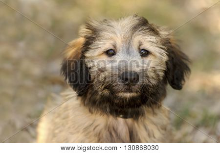 Cute puppy is a closeup of an adorable fluffy puppy dog outdoors.
