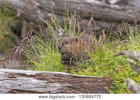 Introduced North American Beaver on Navarino Island in Tierra del Fuego