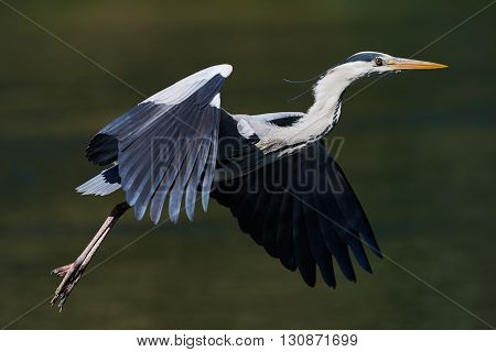 Heron flies with a green background with water