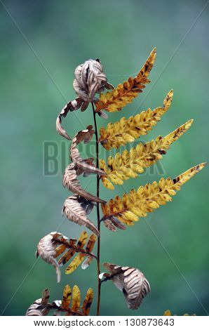 Dried and dying bracken fern with curled leaves