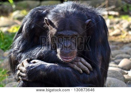 Male Chimpanzee in thoughtful pose with head on arms