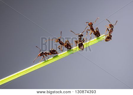 Team of ants running around the curved green blade of grass on a gray background