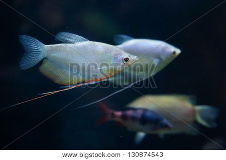 Moonlight gourami (Trichopodus microlepis), also known as the moonbeam gourami. Wildlife animal.