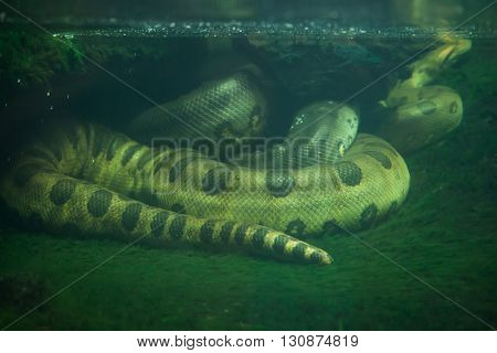 Green anaconda (Eunectes murinus). Wildlife animal.
