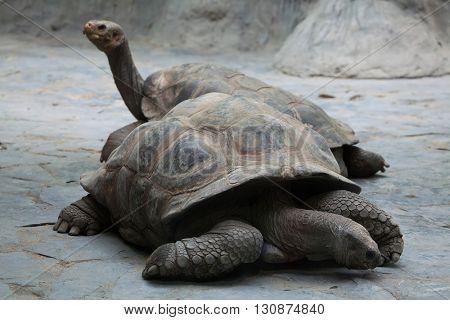 Santa Cruz Galapagos giant tortoise (Chelonoidis nigra porteri). Wildlife animal.