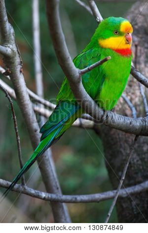 Superb parrot (Polytelis swainsonii), also known as the Barraband's parrot.  Wildlife animal.