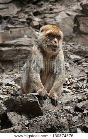Barbary macaque (Macaca sylvanus), also known as the maggot. Wildlife animal.