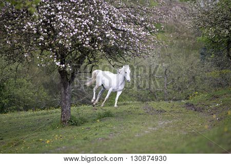 White horse run free between flowers and blooming trees