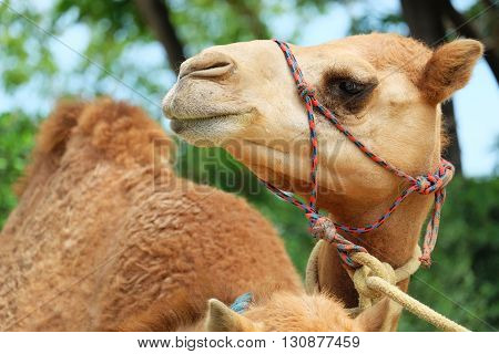 cute brown camel in the garden in thailand
