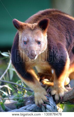 Male Goodfellow's Tree Kangaroo (Dendrolagus goodfellowi), Australia