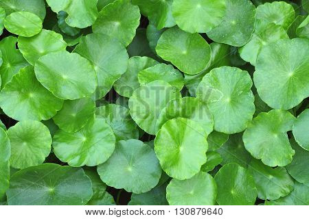 Water Pennywort