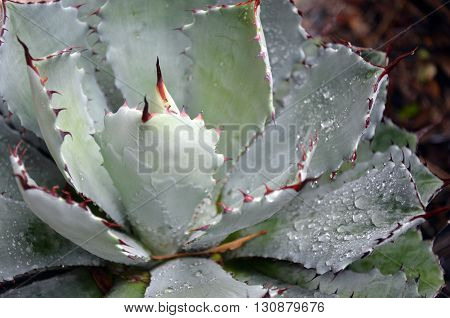 Spiky grey Agave with rain drops on its leaves