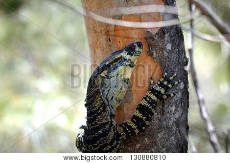 Australian Goanna (Lace Monitor) climbing a tree