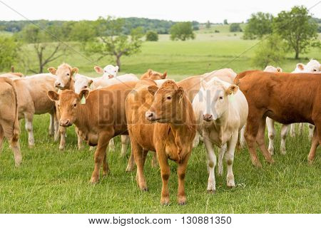 A close up shot of a herd of cattle looking into camera