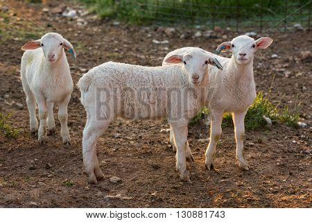 A close up shot of three curious lambs looking into camera