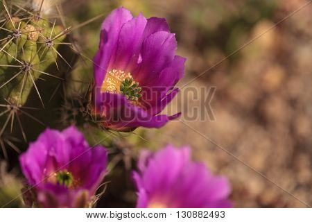 Hot pink flowers with a green stamen found on Ferocactus emoryi blooms on a cactus in Arizona.