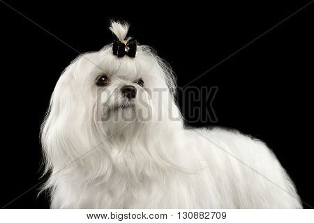 Closeup Portrait of Serious White Maltese Dog with tie Looking in Camera isolated on Black background
