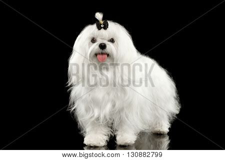 Funny White Maltese Dog Standing and Looking in Camera isolated on Black background