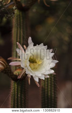 White Trichocereus spachianus cactus flower blooms on a cactus in Arizona.