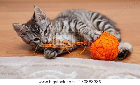 Kuril Bobtail cat plays with a ball of gray thread. Thoroughbred cat. Cute and funny kitten. Pet.
