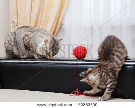 Kuril Bobtail cats. Mama cat watching kitten. Ball of yarn. Thoroughbred cat. Cute and funny kitten. Pet.