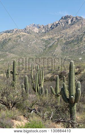 Saguaro cacti line Arizona's Tucson's Catalina State Park