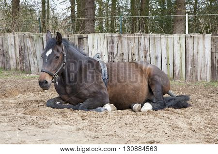 Lying Mare With Birth Alarm