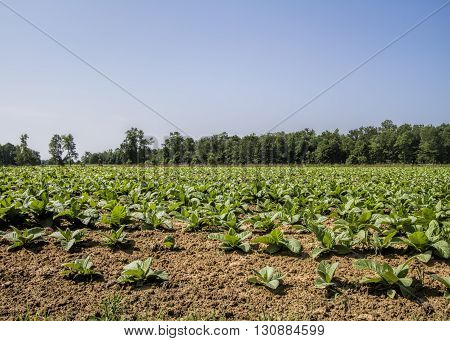 Amish Tobacco Agricultural Crops in Tennessee USA.