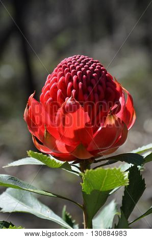 Red and magenta flower head of an Australian Waratah