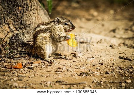 squirrel eating  lays ,captured at puranaqilla,new delhi