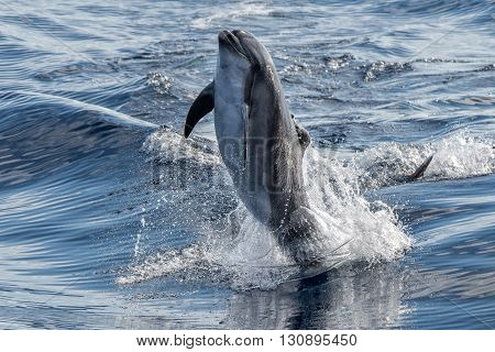 common dolphin jumping outside the water in mediterranean