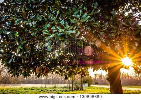 a rhododendron tree in the sunset view