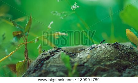 army ants crawling along nice tree stub, root, low perspective, beautiful blurred green background. Some plants on side
