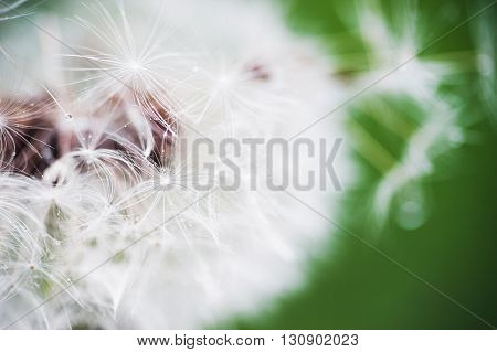 Close-up of dandelion on green sunny meadow. Spring theme.