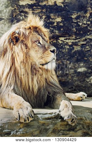 Portrait of a Barbary lion (Panthera leo leo). Animal scene. Critically endangered species. Vertical scene. Big cat.