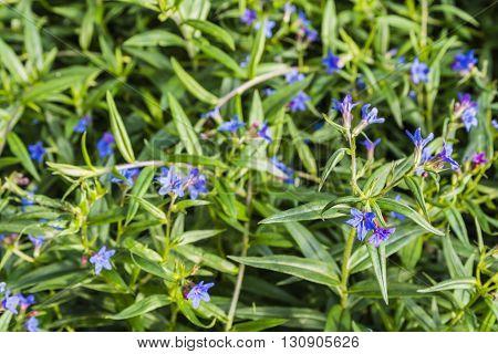 Lithospermum Purpurocaeruleum L..