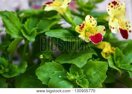 Flower Mimulus