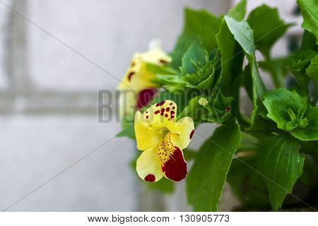 One Flower Mimulus