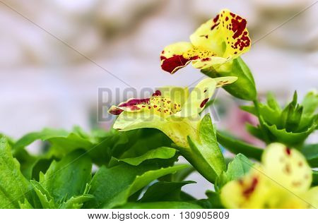 Flower Mimulus In Spring