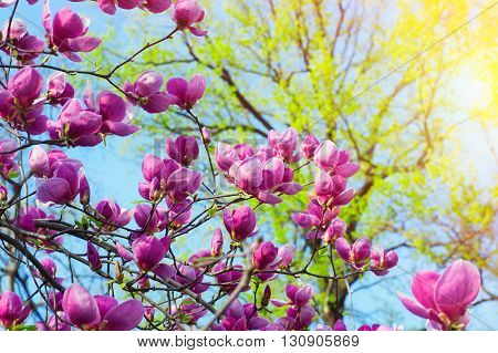Bloomy magnolia tree with big pink flowers.