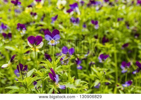 Viola Tricolor (johnny Jump Up).