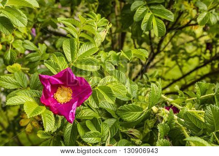 Rosa Rugosa Thunb..