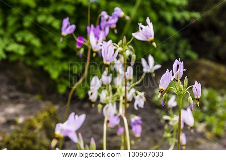Dodecatheon Sp..